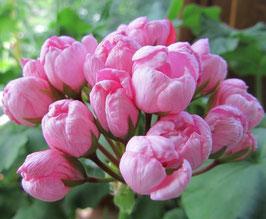 Пеларгония тюльпановидная Happy Birthday