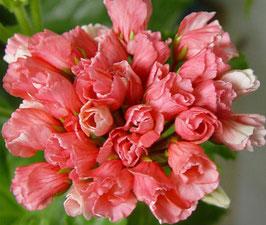 Пеларгония тюльпановидная Marie Louise