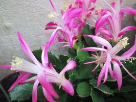 Орхидейный декабрист Orssichiana Kathy Gonoh