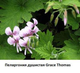 Пеларгония душистая Grace Thomas