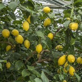 Лимон Carrubaro