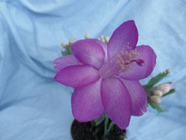 Декабрист Lilac Sky