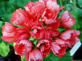 Пеларгония тюльпановидная Fringed Patricia Andrea