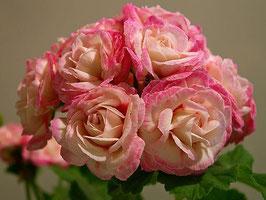 Пеларгония розоцветная Denise