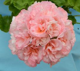 Пеларгония розоцветная Edwards Elegance