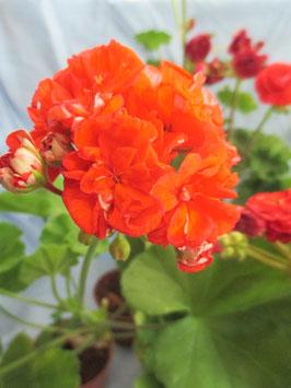 Пеларгония розоцветная Edwards Toscana