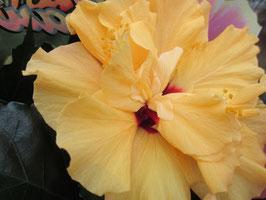 Гибискус Гавайский лимонный