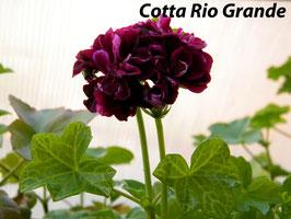 Пеларгония плющелистная Cotta Rio Grande