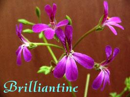 Пеларгония душистая Brilliantine