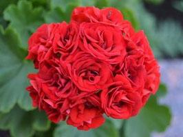 Пеларгония розоцветная Johanna fr.Sättraby