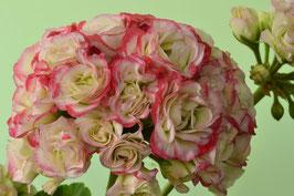 Пеларгония розоцветная Sutarve Klara San