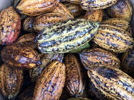 Cacao Podd TRINITARIO  Large Size
