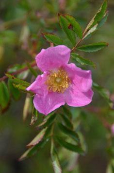 Rosa nitida - Glanzrose