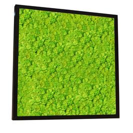 70x70 Tableau lichen stabilisé vert citron