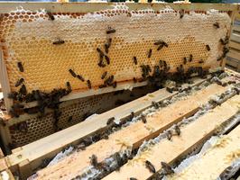 Eine ganze Honigwabe