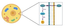 H2DCFDA-Cellular ROS Assay Kit