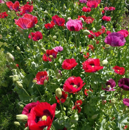 "Mohn-Mix ""Summer Blaze"""