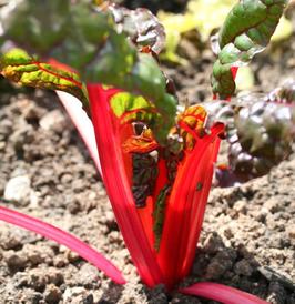 Rhubarb Chard