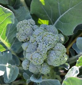 Brokkoli Vert Calabrese Natalino
