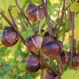 Tomatillo Violet / Physalis