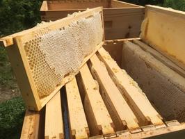 Wabenhonig, 1 ganze Honigwabe