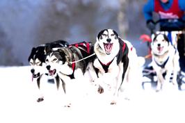 Schlittenhunde Workshop am Lottensee (Raum Telfs-Österreich) EXKLUSIV