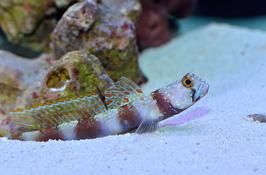 Hafengrundel - Amblyeleotris latifasciata