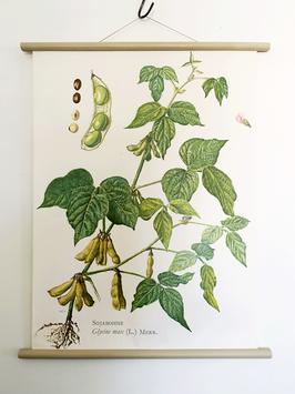 Vintage Rollkarte Schulwandkarte SOJABOHNE Serie Pflanzen
