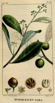 Ätherisches Öl Ravensara  10 ml  100 % naturrein