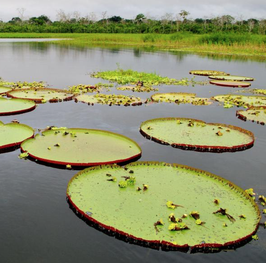 Extra - Giant Water Lilies Day Tour