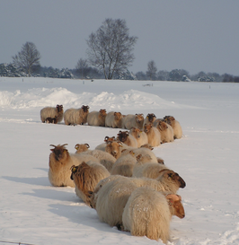 Kerstkaart schapen