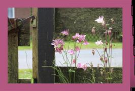 Grußkarte Akelei (wahlweise mit purpur oder rosa Hintergrund und Umschlag)
