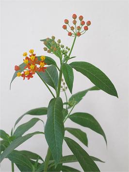 Plante nourricière du monarche