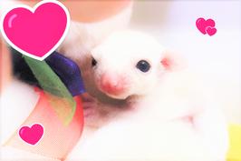 ★小さな天使フクロモモンガ♪(FU210214-1)