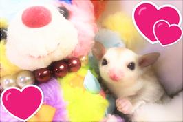 ★小さな天使フクロモモンガ♪(FU210620-1)