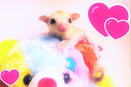 ★小さな天使フクロモモンガ♪(fu210905-1)