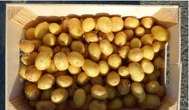 pomme de terre mitraille (grenaille) (diamètre 17/28 mm)