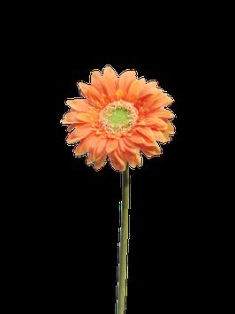 Daisy gerbera orange