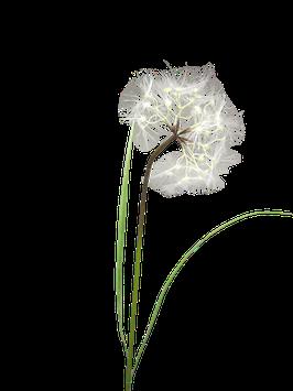 Taraxacum white