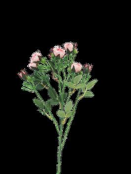 Rose polyantha pink