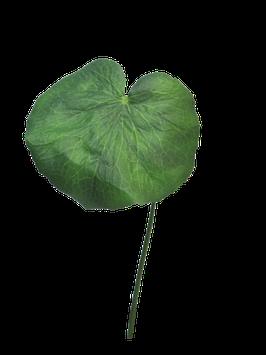 Galax leaf small