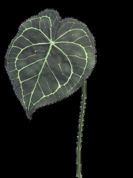 Alocasia leaf Ruhe