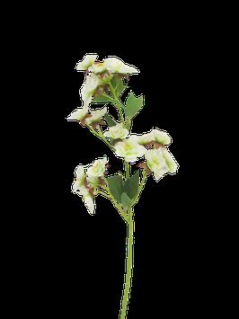 Prunus Lubeck cream