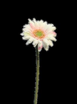 Daisy gerbera creme pink