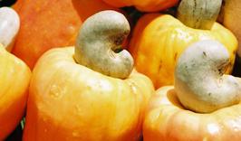 Cashew (Cajú)