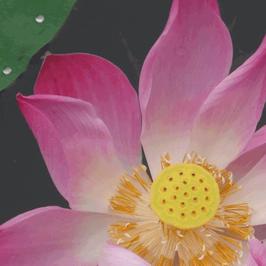 Rosa Lotus 4% Extrakt