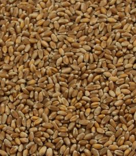 Umsteller Weizen