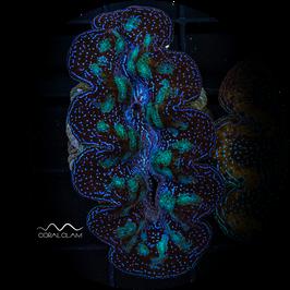 Tridacna crocea - 23TcUg44gb6