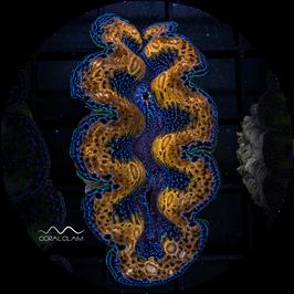Tridacna crocea - 80TcFG51gb23