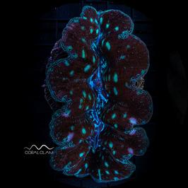 Tridacna crocea - 4TcUg82kb1